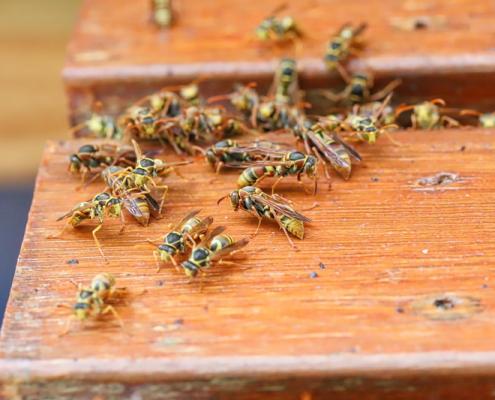 Disinfestazione vespe roma