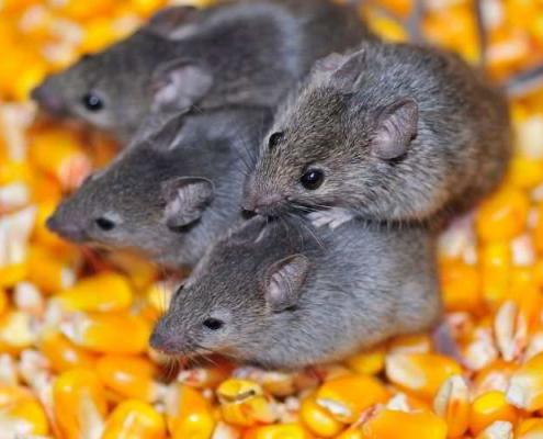 come eliminare i topi in casa