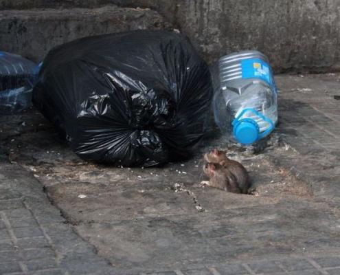emergenza topi a roma