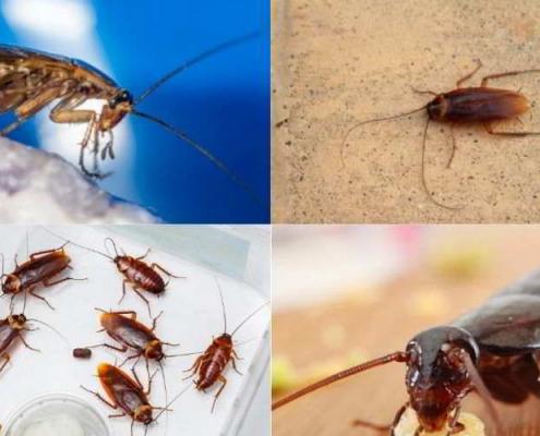 tipi di scarafaggi e blatte