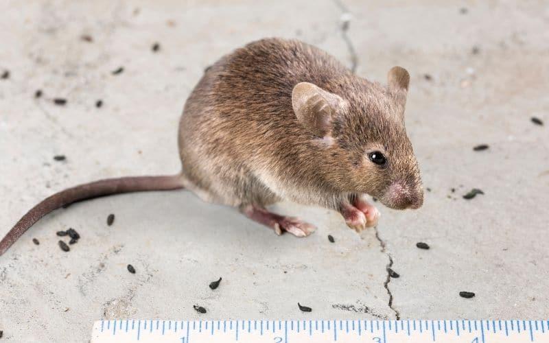Come pulire gli escrementi di topo