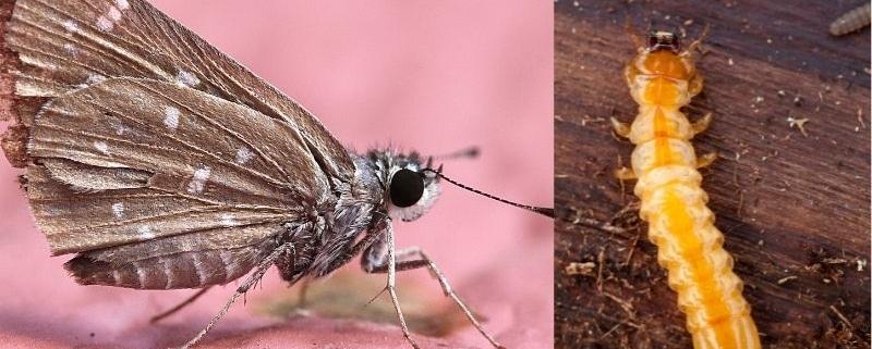 differenza tra tarli e tarme foto dei due insetti