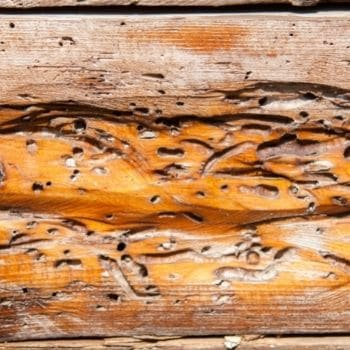 legno bucato dai tarli